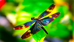 Dragonflies as a Symbol on Kimi Designs Jewellery